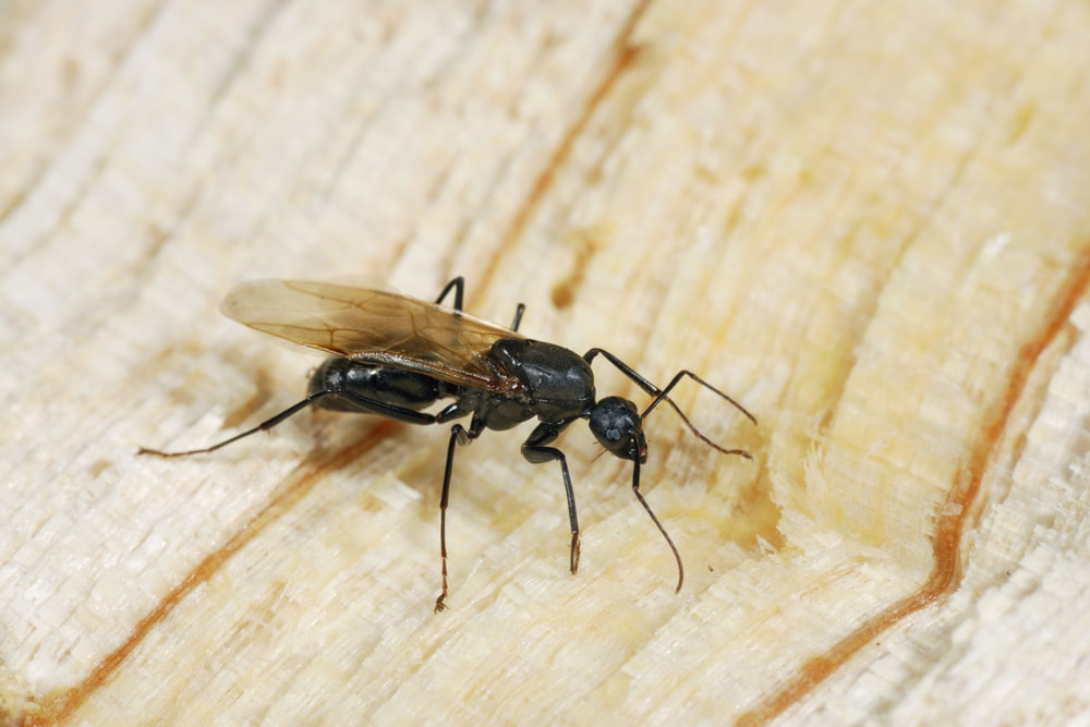 . Flying ants and how to get rid of it