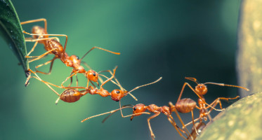 How to get rid of Thief_ants