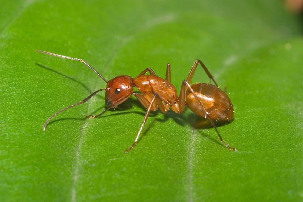 Red Carpenter Ant