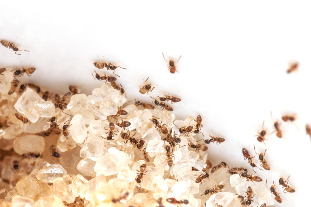 Getting Rid Of Sugar Ants: Best Ways Of Killing The Insects In Your House