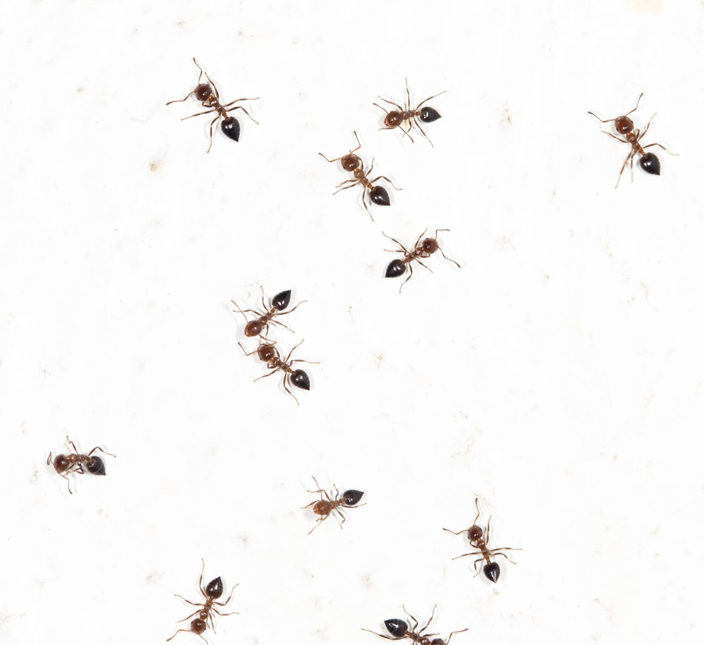 All about pharaoh ants and the methods to get rid of them