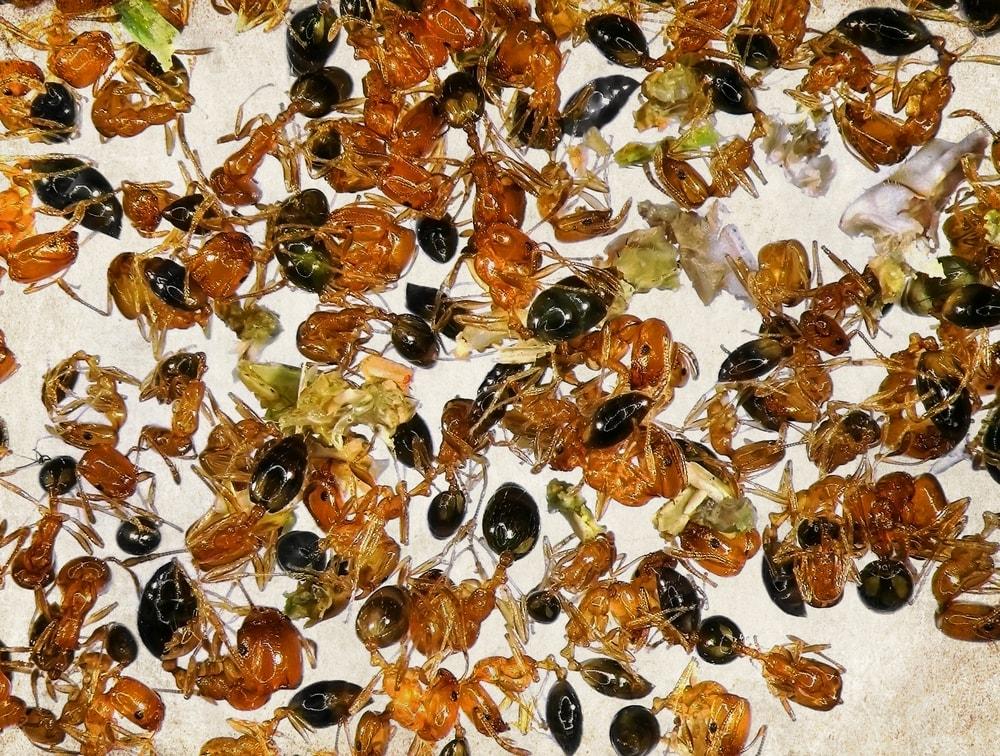 Dead fire ants