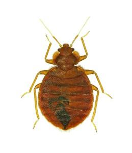 Bedbug macrophoto