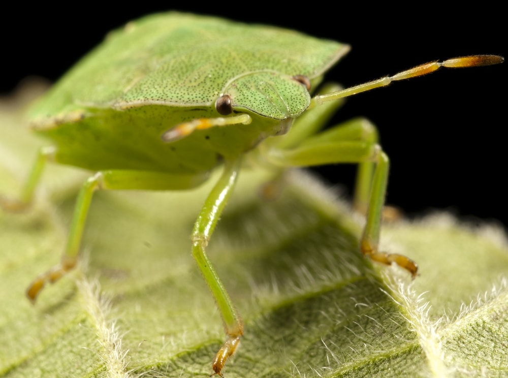 Green Badbug Getridpests