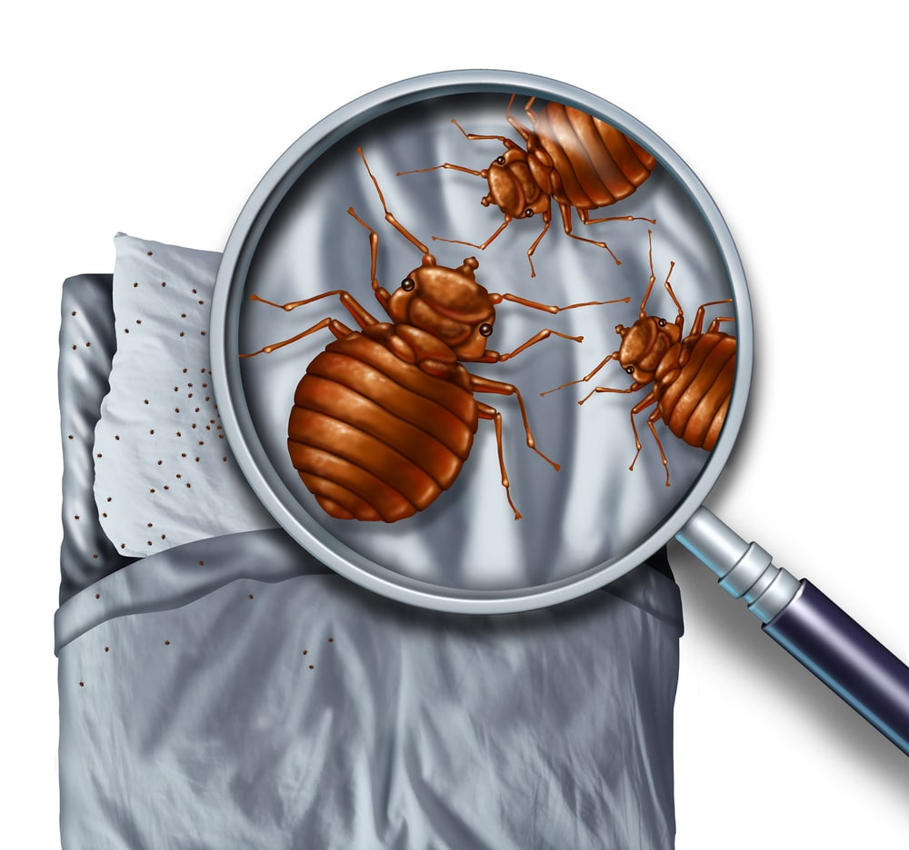 Bedbug infestation