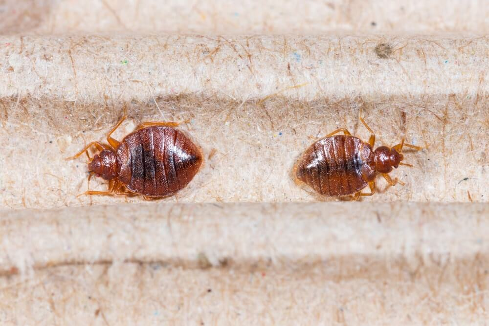 List Of Pesticides To Kill Bed Bugs