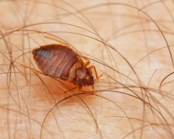 How to get rid of bed bugs in home?