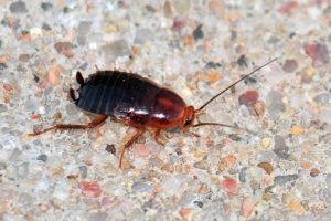 Wood Roach