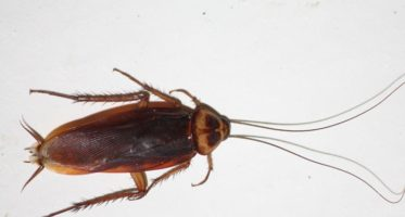 American cockroach looks like this
