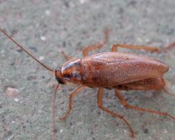 white cockroaches