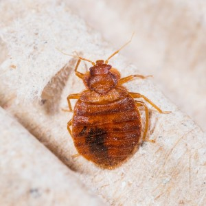 To Get Rid Of Bed Bugs Naturally