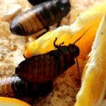 Madagascan roaches