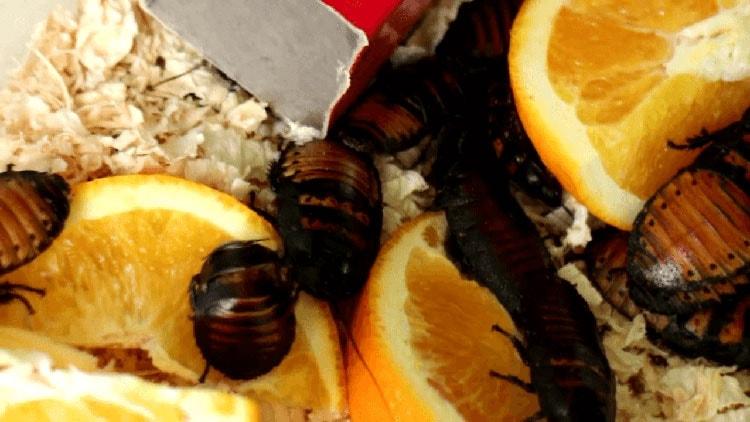 Cockroaches are omnivores