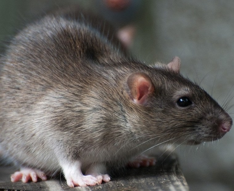 how to get rid of rats effectively