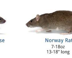rats vs mice