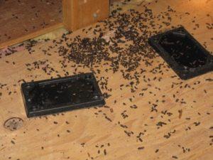 rat droppings at home