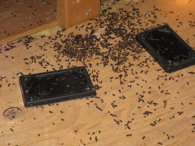 Learning To Get Rid Of Rat Infestation Quickly And Effectively