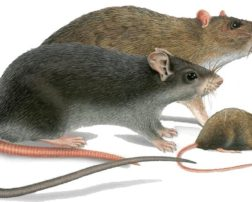 repellents against rats of the house
