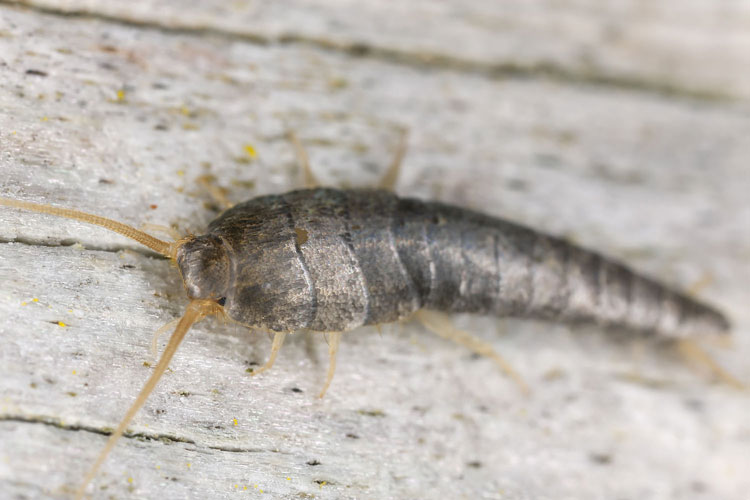 silverfish photo 2. How to Get Rid of Silverfish Bugs  and What Do They Look Like