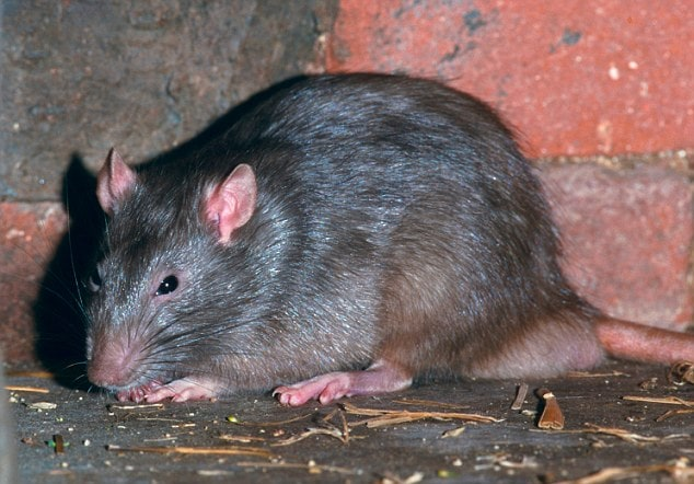 Rats In Kitchen Uk