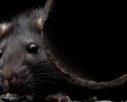 sever rats are big
