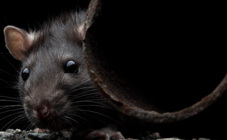 how to get rid of black rats