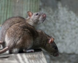 how to catch rats naturally