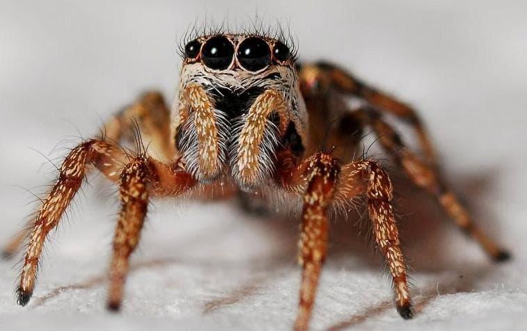 Do Black Widow Spiders Bite Dogs