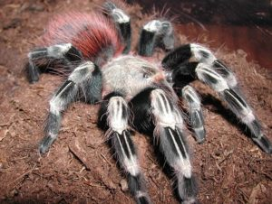 Brazilian Giant Tawny Red Tarantula