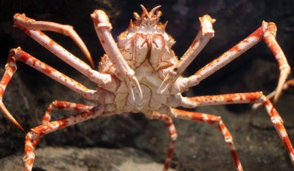 how to get rid of big crabs