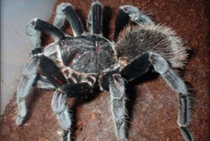The Colombian Giant Black tarantula