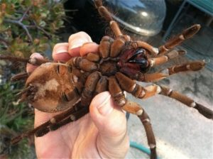 The Goliath Bird-Eating Tarantula