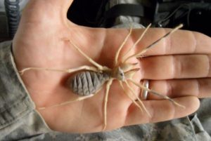 biggest camel spider