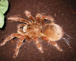 biggest spiders in the world