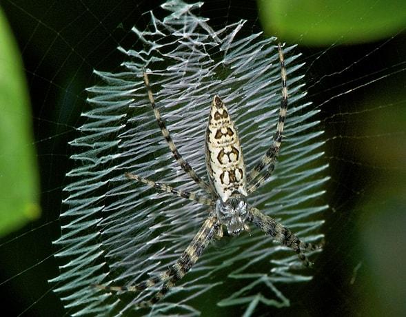 silver garden spider - Garden Spider