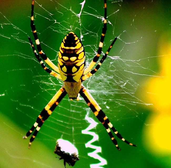 6 things you need to know about black and yellow garden spider for Yellow garden spider poisonous