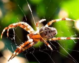 this is the garden spider