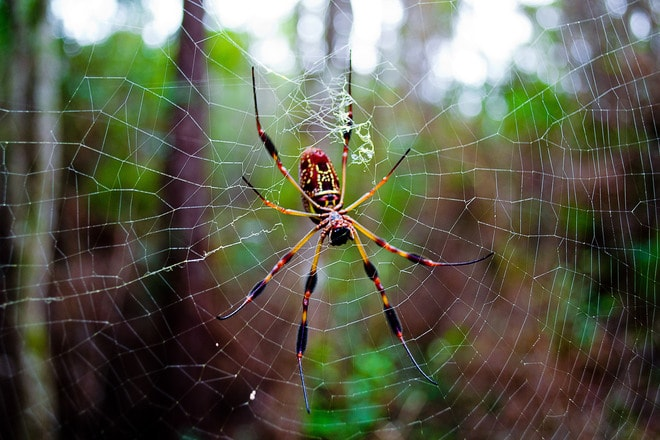 Are banana spider venomous and whether they bite people??