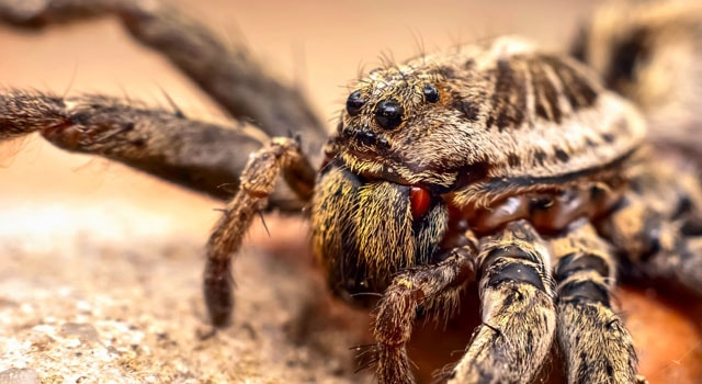 About wolf spiders and wolf spider bites: pictures and photos
