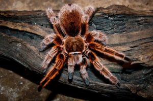 chilean rose tarantulas