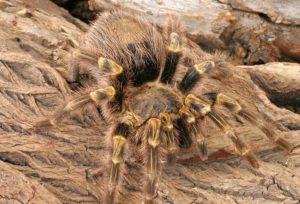 haitian brown tarantulas