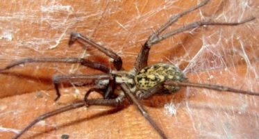 Hobo spider bites