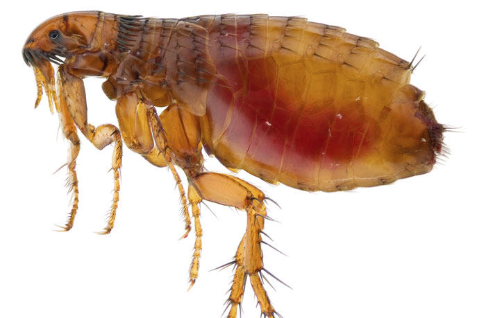 What do fleas look like?