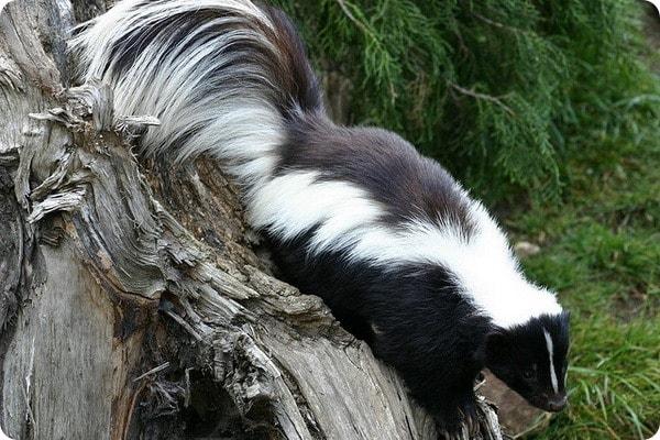 5 Effective Skunk Repellent Reviews