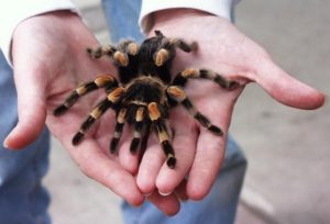 tarantula the big spider