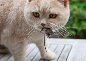 the cat has caught a mouse